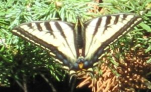 Butterfly on the Western Slope of Colorado taking a breather on Mount Sopris conifer.